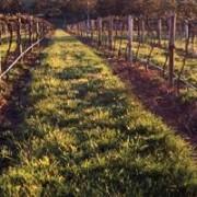 vineyard establishment